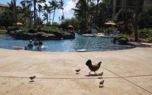 Hen with chicks crossing pool at Koloa Landing Resort
