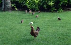 Chickens and chicks walking around Kauai